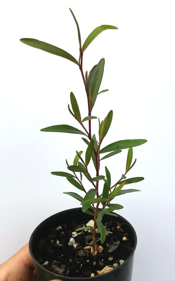 Leptospermum brachyandrum