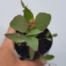 Eucalyptus sideroxylon rosea